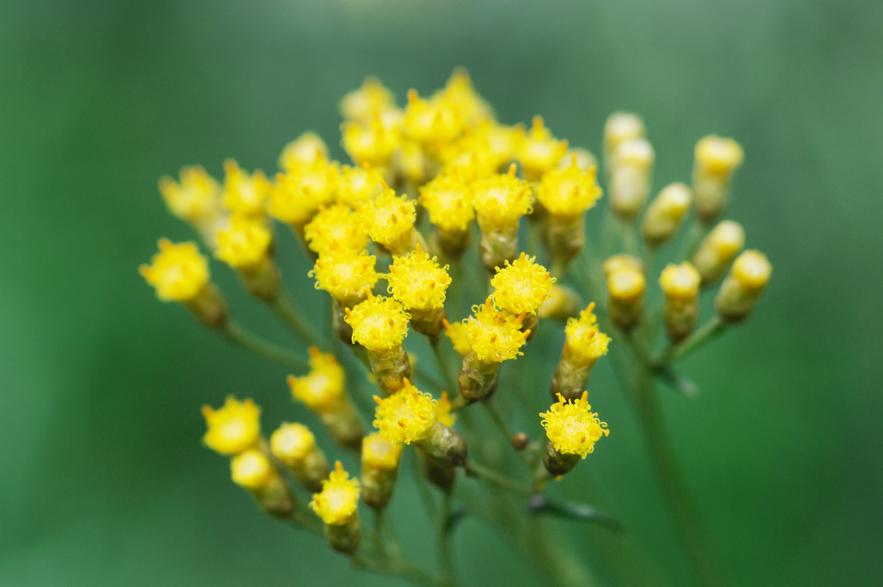 helichrysum essential oil plant