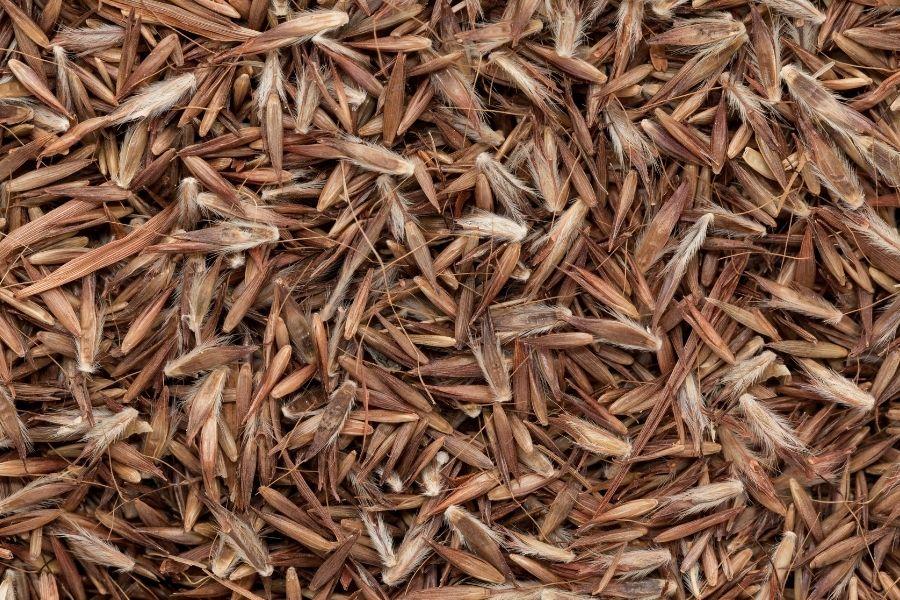 palmarosa essential oil grass seeds